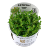 1-2-Grow Rotala Bonsai InVitro