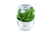 1-2-Grow Rotala Rotundifolia green